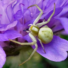 Snack on Lilac. Misumena vatia, Yellow Crab Spider with a Hoverfly on Field Scabious, Knautia arvensis, Océ-weerd, Meuse Corridor, Venlo, The Netherlands (Rana Pipiens) Tags: sepal knautiaarvensis misumenavatia yellowcrabspider hoverfly rain meuserivervenlothenetherlands océweerdmeusecorridorvenlothenetherlands willows cloud rabbithole fieldscabious squall zephyr flower lilac purple gray pentecost