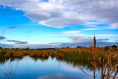 The Wetlands (Steve Taylor (Photography)) Tags: wetlands newbrighton blue mauve brown green calm river avon water newzealand nz southisland canterbury christchurch cloud bullrush lenticular