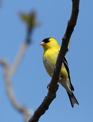 IMG_3744 Chardonneret jaune, Roberval (joro5072) Tags: animal nature oiseau bird chardonneret goldfinch