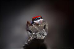 M splendens (GTV6FLETCH) Tags: maratus peacockspider spider jumpingspider macro macrophotography maratussplendens peacockjumpingspider canon canoneos5dmark2 canonmpe65 canonmpe65mm15xmacro manualfocus mpe65mm mpe65 mpe 5dmarkii 5d2 5dmii