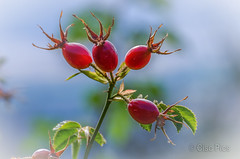 Wild Rose Hips (Cisc Pics) Tags: nature rosehips newzealand wanaka mountiron nikon nikkor d7000 dx 18200 aotearoa otago