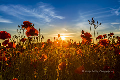 Dawn over Poppies (pixellesley) Tags: dawn daybreak sunup summer hot heat flowers wild farmland landscape lesleygooding