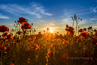 Dawn over Poppies