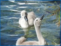 bébés cygnes - young swans (Jogabi - Michèle) Tags: coth5 sunrays5 ngc saariysqualitypictures npc