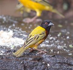 Golden-backed weaver (Simon E Carter) Tags: baringo kenya birds