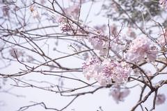 Tropical Sakura (bdrc) Tags: asdgraphy closeup nature sony a6000 alpha minolta 75300mm tele zoom outdoor bukit jalil park garden flora fauna flower plant sakura tree branch f4556 tabebuia rosea pink poui