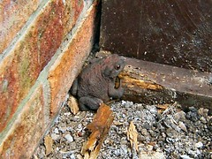 Where's my home gone? (Mrs Fogey) Tags: garden toad amphibian animal nature