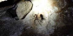 European cave spider (Meta menardi) (red.fox.child) Tags: animal animals spider araneae arachnid insect macro cave cavespider speleology travel nature shadow dark night