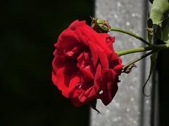 Rosso e vellutato (libra1054) Tags: rosen rosas roses rosso rouge red vermelho rot rojo samtig vellutato velvety velouté aterciopelado aveludado fiori flores flowers fleurs blumen flora nature closeup