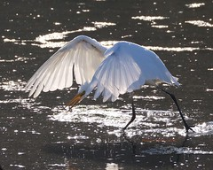 Great egret spots a fish (Victoria Morrow) Tags: