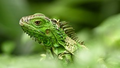 I Am Green & It's Beautiful (Anna Kwa) Tags: iguana green lizard herbivorous annakwa nikon d750 afsnikkor70200mmf28gedvrii my beyou always bewell beingreen franksinatra beautiful seeing heart soul throughmylens life fate destiny wmh
