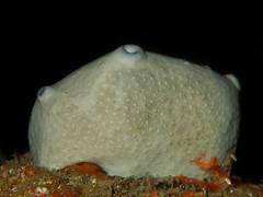 Ircinia oros (Cositos :)) Tags: ircinia oros macro underwater photograpgy olympus tg 4 greece crete blue cave grecia cueva submarina sponge esponja