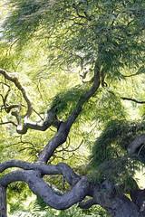 Japanese Threadleaf Maple (Kurtsview) Tags: newengland connecticut hartford tree japanesemaple