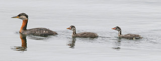 Grèbe Jougris  -  Red-Necked Grebe  EXPLORE 2017-07-11