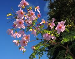 Dahlia imperialis, Bell tree dahlia (AlfredSin) Tags: alfredsin australianflowers australianplants pinkflower dahliaimperialis belltreedahlia violetflowers nikonp7800