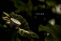 D66_9935 (brook1979) Tags: 台北市 植物園 荷 蓮 荷花 蓮花 葉 花 lotus flower