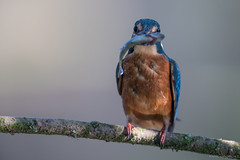 Young Kingfisher (eric-d at gmx.net) Tags: kingfisher eisvogel alcedoatthis vogel wildlife eric