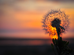 Tick-Tock It's Sunset O'Clock.. (Imagine8 Photography) Tags: weed flower wildflower flora scotland dandelion clock dandelionclock seeds wind blow time silhouette sunset orange nikon imagine8photography