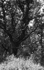 Witches place (Arne Kuilman) Tags: castricum tree boom kentmere kentmere100 iso100 blackandwhite homedeveloped rodinalspezial rodinal 135 yashica yashica35gx gx k100 scan epson v600 1200dpi 354311 film believeinfilm rangefinder manualfocus noordhollandsduinreservaat
