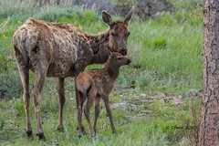 IMG_6584 cow elk and calf (starc283) Tags: cow cowelk calfelk starc283 nature naturesfinest canon canon7d colorado natue wildlife