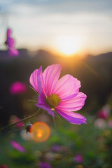 (kuuan) Tags: 5cmf28topcortokyokogaku mf manualfocus austria mostviertel flower sun flare oesterreich topcor reautotopcorf2835cm topcortokyokogaku 35cm f28 cosmos contrejour sunset lensflare colors explored
