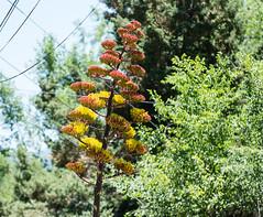 Century Plant (dagnyg) Tags: centuryplant plants