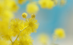 Fluffy spheres of yellow (judith511) Tags: 7daysofshooting week50 circlesspheres shootanythingsaturday wattle acacia fluffy flowers nativeaustralianplant flickrlounge saturdaytheme spheres soft stamen mimosa naturethroughthelens