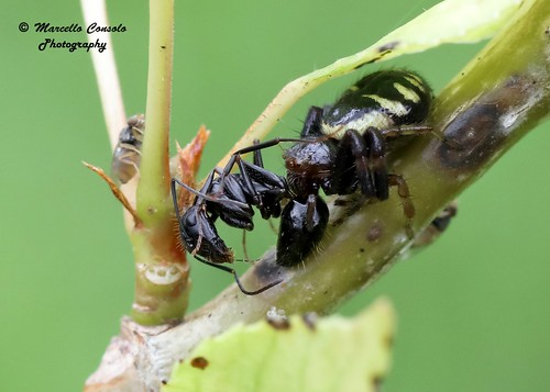 Synema globosum (Fabricius, 1775) ♀ prey Camponotus vagus (Scopoli, 1763)