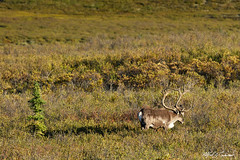 Lone Migration_20A6864 (Alfred J. Lockwood Photography) Tags: alfredjlockwood nature wildlife mammal caribou bull stag summer afternoon denalinationalpark spruce alaska