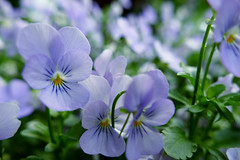 moony violas (nelesch14) Tags: mooney flower summer pastel macro nature dreamy bokeh garden fieldviolets