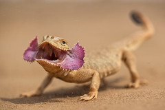 DSC_8037-1 (melnikovee) Tags: lizard herpertology nature wildlife angry sand agama