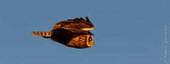 Asio flammeus | Short-eared Owl | Búho Campestre (Daniel Avendaño) Tags: nuco chile bíobío aves concepción búhocampestre nature bird birds canoneos7dmarkii danielavendaño wildlife shortearedowl asioflammeus andalién