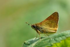 Large Skipper..... (klythawk) Tags: butterfly leaf dof nature summer wildlife sunlight green yellow brown olympus omd em1mkll 100400mm panasonic colwickpark nottingham klythawk largeskipper ochlodessylvanus