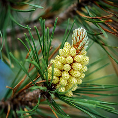 "Pine Cone Buds • <a style=""font-size:0.8em;"" href=""http://www.flickr.com/photos/135987798@N07/35161393651/"" target=""_blank"">View on Flickr</a>"