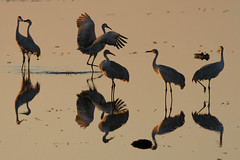 IMG_0980 Sandhill Reflections (cmsheehyjr) Tags: cmsheehy colemansheehy nature wildlife birds reflections cranes sandhillcranes paynesprairie gainesville florida
