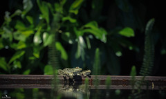 Parenting the Offspring (pbmultimedia5) Tags: swiss white frog pond amphibian water nature wildlife offspring green pbmultimedia