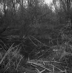 Murky pond // Ciemne bajoro (Other dreams) Tags: traces beaver animal willow sticks twigs pond oxbow lake pomerania poland grudziądz dragacz michale fp4 nofilter spring xenotar35 paranols film analogue rolleiflex 35f