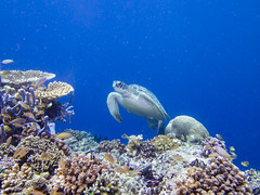 brianleungphotography-60 (brianleung5895) Tags: tortoise fish reef seaworld sea diving ilovetravel photoofday photooftheday photographer travel travelphotography wonderful wonderfulworld moalboal cebu philippines momentwithbrian epl3 olympus hkig