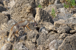 Red (Palestinian) Fox Camouflage
