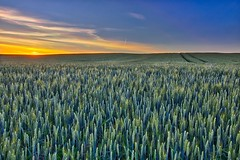 Sea of wheat - Mer de blé (olivier_kassel) Tags: ciel paysage champs blé wheat hdr canon eos750d flickrdiamond wow pinnaclephotography