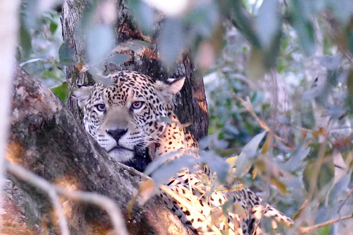 brazil-pantanal-caiman-lodge-jaguar-in-evening-tree-copyright-thomas-power-pura-aventura