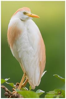 Cattle Egret / Garceta Bueyera