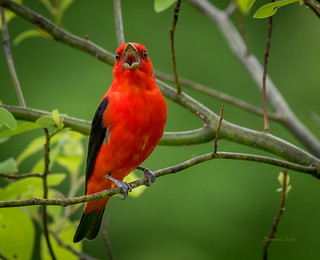 IMG_0171  Scarlet Tanager