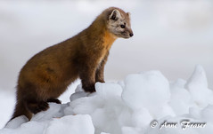"American ""Pine"" Marten (Anne Marie Fraser) Tags: american pine marten americanmarten pinemarten wildlife wild nature snow"