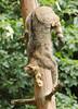 european wild cat anholt BB2A2540 (j.a.kok) Tags: kat cat europesewildekat europeanwildcat wildekat wildcat anholt animal europe europa mammal zoogdier dier feline