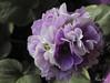 Primula (NELIDA RICHI FOTOGRAFIA) Tags: canon eos 60d 1855mm fiori flower garden lilas primulas naturaleza nature natureza