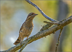 Wryneck - Jynx torquilla (Warrener) Tags: eurasianwryneck jynxtorquilla mallorca majorca balearic islands passerine rare