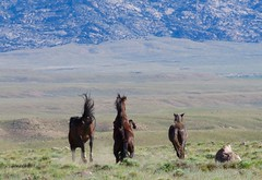 Reckless (prairiegirrl) Tags: mustangs wildhorses greenmountainhma wyoming