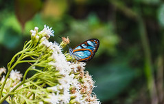 Any color you like (Maurcio Becerra) Tags: colombia antioquia medellin mariposa mariposario blue green nature nikond5500 blury butterfly