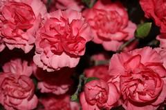 IMG_0762 (taladlersberg) Tags: flower flowers pink bright graden green